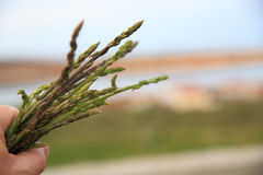 A bunch of fresh wild asparagus. Detailed shot of a bunch of fresh raw wild asparagus with blurred background Stock Photography