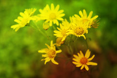 Spring Flowers. A bunch of fresh yellow flowers blooming in spring season Stock Photo