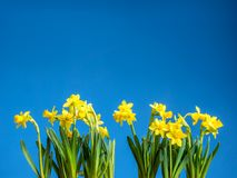 Bunch of fresh daffodils. Bunch of fresh yellow garden daffodils over blue sky Royalty Free Stock Photography