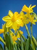 Bunch of fresh daffodils. Bunch of fresh yellow garden daffodils over blue sky Stock Photography