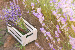 A bunch of freshly cut lavender flowers and rusty old scissors in a small white wooden crate laid over the soil among the blooming Stock Images