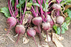 Bunch of freshly hand picked beetroots Royalty Free Stock Images