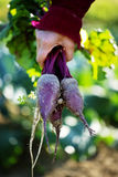 Bunch of freshly harvested beetroots Royalty Free Stock Images