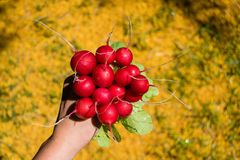 Bunch of freshly harvested round radish in a hand, large bunch of fresh organic vegetables, Royalty Free Stock Images