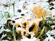 Frozen mushrooms in snow. A bunch of frozen mushrooms under the snow in the winter stock photo