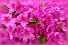 Fuchsia spring flowers. Bunch of fuchsia azalea flowers Royalty Free Stock Photo