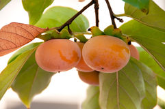 Bunch of fuyu persimmons ready for picking Royalty Free Stock Images