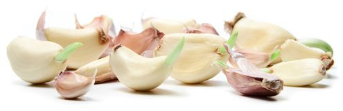 A bunch of garlic cloves with green sprouts. stock image