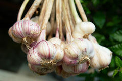 Bunch of garlics Royalty Free Stock Images
