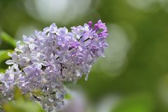 Bunch of gentle fragrant lilac flowers close-up. With space for text - romantic spring background Stock Images