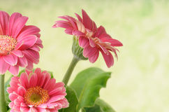 Bunch of gerbera Royalty Free Stock Images