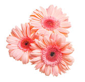 Bunch of gerbera isolated Royalty Free Stock Image