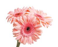 Bunch of gerbera isolated Royalty Free Stock Photos