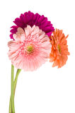 Bunch of gerberas Royalty Free Stock Photos