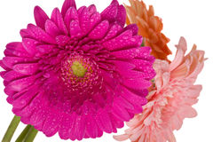 Bunch of gerberas Stock Images