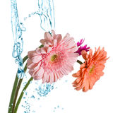 Bunch of gerberas Stock Photo