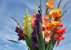 Bunch of gladioli flowers Royalty Free Stock Photo