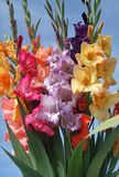 Bunch of gladioli flowers stock images