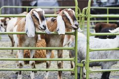 Goats in a caged area. A bunch of goats in a caged area Stock Photo