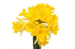 Bunch of daffodils. Bunch of golden daffodils isolated against white Royalty Free Stock Photos