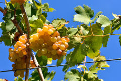 Bunch of golden grapes on grapevine right before harvest Stock Image