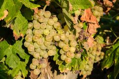 Bunch of Golden grapes hanging on vine stock at wine yard, plantation. In Spain Royalty Free Stock Photos