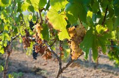 Bunch of Golden grapes hanging on vine stock at wine yard, plantation. In Spain Stock Photo