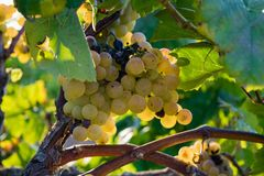 Bunch of Golden grapes hanging on vine stock at wine yard, plantation. In Spain Royalty Free Stock Image