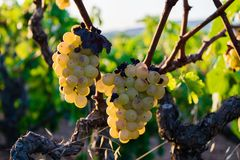 Bunch of Golden grapes hanging on vine stock at wine yard, plantation Royalty Free Stock Image