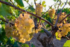 Bunch of Golden grapes hanging on vine stock at wine yard, plantation. In Spain Stock Photos