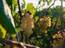 Bunch of Golden grapes hanging on vine stock at wine yard, plantation Stock Photography