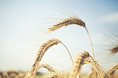 Bunch of golden wheat Stock Image