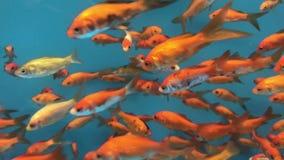 Goldfish swimming in aquarium. A bunch of goldfish swimming in a blue aquarium stock footage