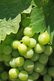 Bunch of grape Stock Photography
