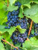 Grape on branch in vineyard Royalty Free Stock Photography