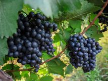 Grape on branch in vineyard Royalty Free Stock Images