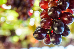 Bunch of grape on grapevine with bokeh. Bunch of grape on grapevine with bokeh in background royalty free stock images
