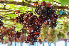 Bunch of grape on grapevine with bokeh. Bunch of grape on grapevine with bokeh in background royalty free stock photo