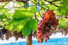 Bunch of grape on grapevine with leaf. Bunch of grape on grapevine with leaf and bokeh in background stock photography