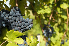Bunch of grape on the grapevine Royalty Free Stock Photo