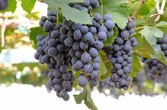 Bunch of grape with green leave in the garden Royalty Free Stock Photo