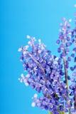 Bunch of grape hyacinth Stock Photo