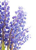 Bunch of grape hyacinth Royalty Free Stock Photo
