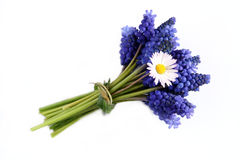 Bunch of grape hyacinths Stock Images