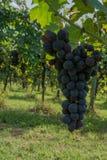 Bunch of grape in an italian vineyard Royalty Free Stock Photo