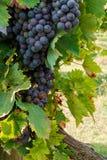 Bunch of grape in an italian vineyard Royalty Free Stock Image