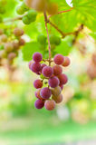 Bunch of grape ripen on brunch. Bunch of grapes ripen on a branch in the garden stock photos