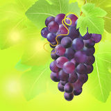 Bunch of grape on summer blur background. Created with gradient meshes. Royalty Free Stock Images