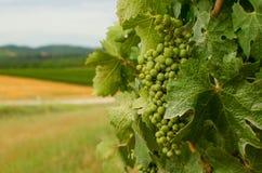 Bunch of grape unripe stock photo