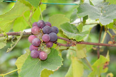Bunch Of Grape On the Vine Royalty Free Stock Photo